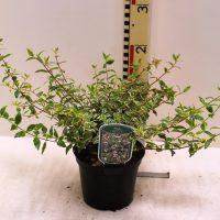 "Abelia Grandiflora 'Radiance """