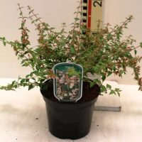 "Abelia grandiflora ""Sparkling Silver""'"