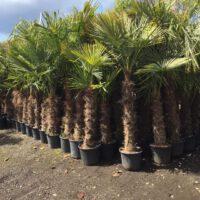 Trachycarpus Fortunei stam 180-220cm
