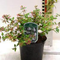 "Abelia grandiflora ""Francis Mason"""
