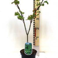 """Acer japonicum """"Aureum"""