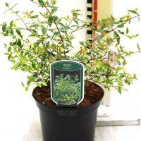 "Abelia grandiflora "" Hopleys"""