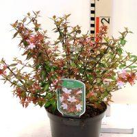 "Abelia grandiflora "" Sherwood"""