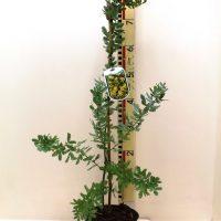 "Acacia Baileyana ""Purpurea"""