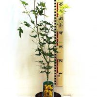 """Acer palmatum """" Aureum"""""""