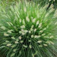 Pennisetum alop. 'Hameln'