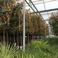 Wintergroene Lei Bomen