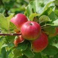 Fruitbomen / Fruitstruiken