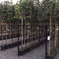 Wintergroene of bladverliezende leibomen uit Limburg